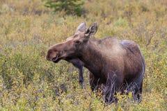 Alaska Yukon Cow Moose Royalty Free Stock Photos