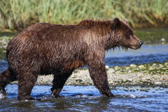 Alaska Zilveren Salmon Creek Brown Bear Walking Stock Foto