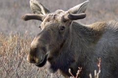 Alaskabo älg Arkivfoto
