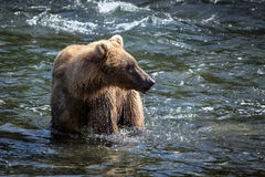 alaskabo björnbrown Arkivfoto