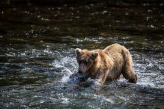 alaskabo björnbrown Fotografering för Bildbyråer