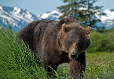 Alaskabo Brown björn Arkivbild