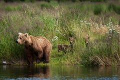 Alaskabo brunbjörn med gröngölingar arkivfoto