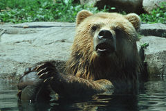 Alaskabo brunbjörn som badar i pöl Arkivbild