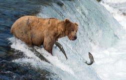 Alaskabo brunbjörn som försöker att fånga laxen arkivbilder
