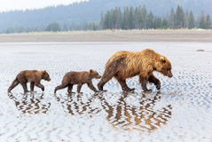 Alaskabo brunbjörnfamilj på stranden Arkivbild