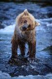 Alaskabo brunbjörngröngöling som skakar av vatten Arkivbilder