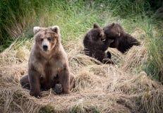 Alaskabo brunbjörnsugga med gröngölingar arkivbilder