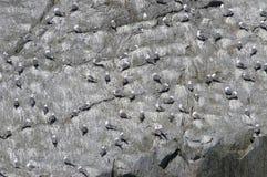 Alaskabo fiskmåsar som roosting på, vaggar vänder mot Arkivbilder