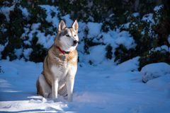 Alaskabo Husky Mix royaltyfri bild