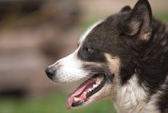 Alaskabo husky profil arkivbilder