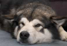 alaskabo malamute Arkivbilder