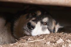 Alaskabo malamute arkivfoto