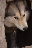 Alaskabo malamute fotografering för bildbyråer
