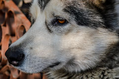 alaskabo malamute Royaltyfri Fotografi