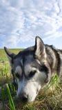 Alaskabo malamute för hundavel royaltyfria foton