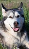 Alaskabo malamute för hundavel arkivfoton