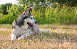Alaskabo malamute för hundavel royaltyfri fotografi