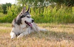 Alaskabo malamute för hundavel Arkivfoto