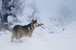 Alaskabo Malamute i ett härligt snöig landskap Royaltyfri Bild
