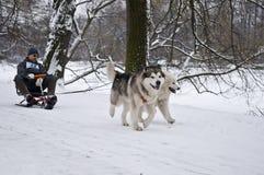 Alaskabo Malamute och Samoyed som drar mannen på snöracerbil Royaltyfria Foton
