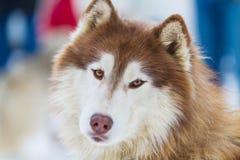 Alaskabo Malamute på snö Fotografering för Bildbyråer