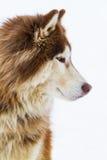 Alaskabo Malamute på snö Arkivfoto
