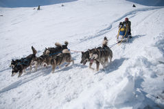 Alaskabo malamutehundsled - lokomotiv norden royaltyfri foto