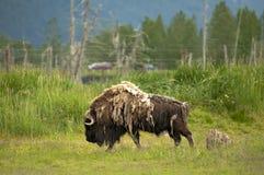 Alaskabo musk Royaltyfri Fotografi