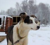 Alaskabo skrovlig slädehund Royaltyfria Bilder