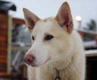 Alaskabo skrovlig slädehund Royaltyfri Fotografi