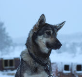 Alaskabo skrovlig slädehund Arkivbilder