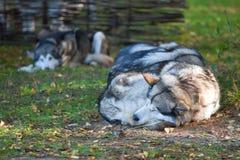 alaskabo sova för malamute Arkivfoto