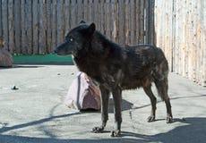 alaskabo wolf Royaltyfri Fotografi