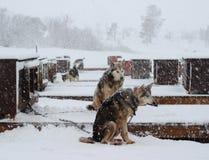 AlaskaboHusky Sled hundkapplöpning Royaltyfri Fotografi