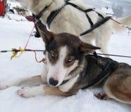 AlaskaboHusky Sled hundkapplöpning Royaltyfri Bild