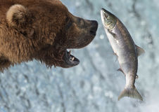 alaskan łosoś niedźwiadkowy chwytający zdjęcie stock