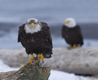 Alaskan Bald Eagle Royalty Free Stock Photos