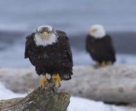 Free Alaskan Bald Eagle Royalty Free Stock Photos - 18250558