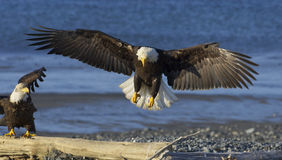 Alaskan Bald Eagle Stock Photography