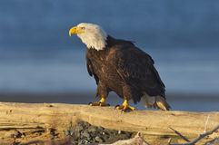 Alaskan Bald Eagle, Haliaeetus leucocephalus. On log on beach with blue water background stock images