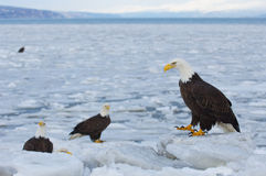 Alaskan Bald Eagle, Haliaeetus leucocephalus. Standing on ice with icy ocean water in background Royalty Free Stock Image