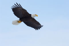 Alaskan Bald Eagle, Haliaeetus leucocephalus Royalty Free Stock Photography