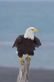 Alaskan Bald Eagle, Haliaeetus leucocephalus. On log on beach with blue water background Royalty Free Stock Photos