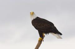 Alaskan Bald Eagle, Haliaeetus leucocephalus. On log on beach with blue water background Stock Photo
