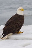 Alaskan Bald Eagle, Haliaeetus leucocephalus. Standing on ice with icy ocean water in background stock photos
