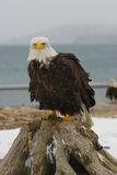 Alaskan Bald Eagle, Haliaeetus leucocephalus Stock Images