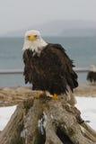 Alaskan Bald Eagle, Haliaeetus leucocephalus. On log on beach with blue water background Stock Images