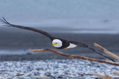 Alaskan Bald Eagle, Haliaeetus leucocephalus. Flying over beach with sticks in foreground Royalty Free Stock Photo