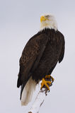 Alaskan Bald Eagle, Haliaeetus leucocephalus. On log on beach with blue water background Royalty Free Stock Image
